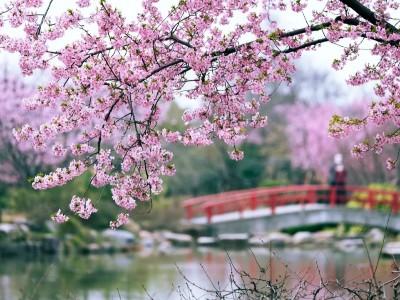 美爆了!无锡和武汉的樱花盛开了!快来一起云赏樱花!